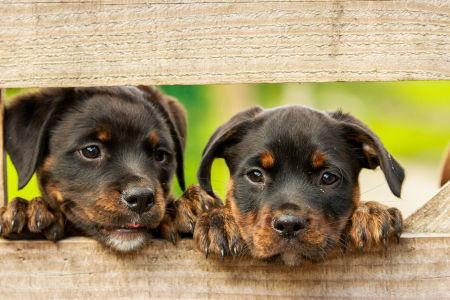 Zwei Junge Rottweiler schauen durch einen Zaun