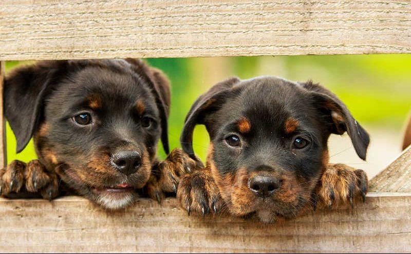 Zwei kleine Rottweiler schauen durch einen Zaun