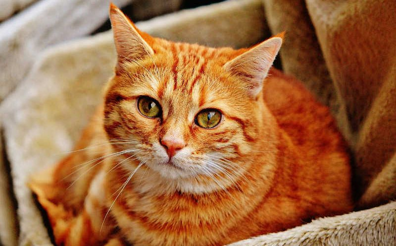 Orangene Katze